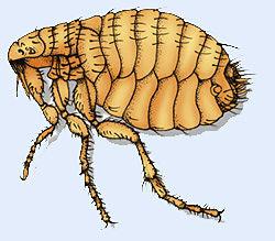 Picture of a flea