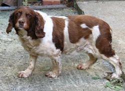 Fat, unhealthy senior dog